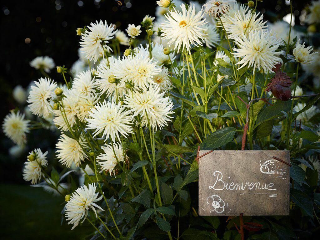 dahlias blancs